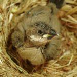 文鳥の卵が孵ったら!雛と親鳥の接し方や注意点は?