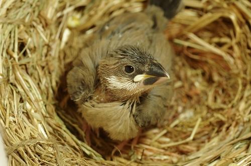 文鳥 雛 卵 大きさ