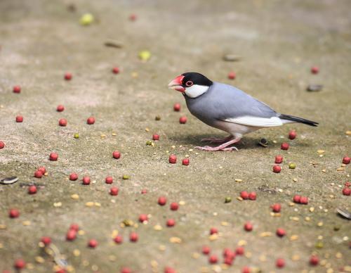 文鳥 しつけ なつく 手乗り 方法