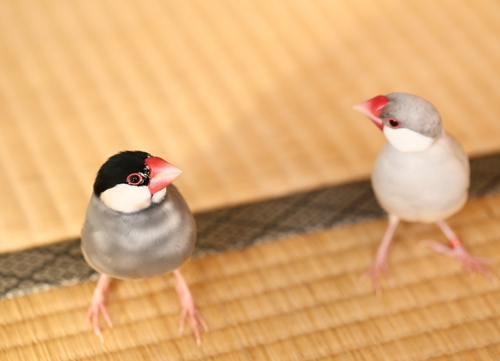 文鳥 色 遺伝
