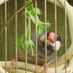 文鳥のケージの中につぼ巣は必要?