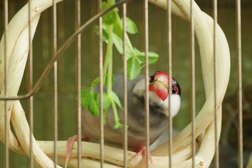 文鳥 つぼ巣 必要
