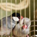 文鳥をペアで飼育!ペアの相性、産卵とケージについて
