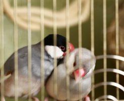 文鳥 ペア 飼育 相性 産卵 ケージ