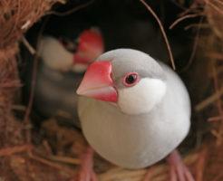 文鳥 産卵 時期 時間 回数