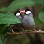文鳥の性別!孵化後何ヶ月で分かるの?