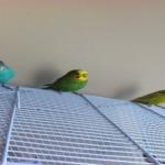 文鳥とセキセイインコ!どっちが飼いやすさが上か?!