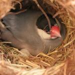 文鳥が無精卵を温めるときにはどうする?抱卵を取り除くべき?