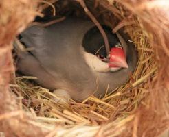 文鳥 無精卵 温める 抱卵 取り除く