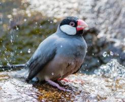 文鳥 換羽 餌 栄養 水浴び